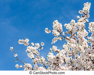 Springtime bloom of apricot tree against blue sky