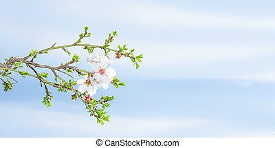 Spring blossom apricot tree against blue sky with copy-space...