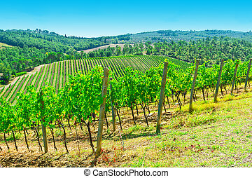 Vineyard - Hill of Tuscany with Vineyard in the Chianti...