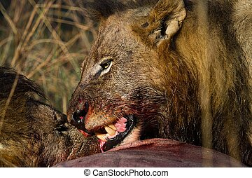 lions of Tanzania National park - lion feeding on prey