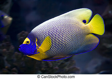 Angelfish - Beautiful exotic tropical fish angelfish