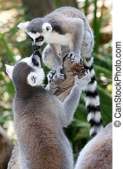 Lemur Primates Greeting - Two Lemur primates geeting and...
