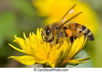 abeja, diente de león, flor