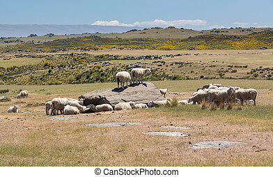 Sheep grazing on rocky land in New Zealand - Group of sheep...