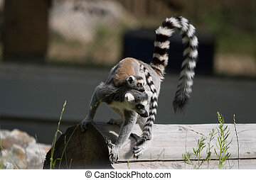 Lemur carrying baby - Ring-tailed Lemurs at a zoo