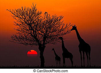 silhouettes of Giraffes and dead tree against sunset...