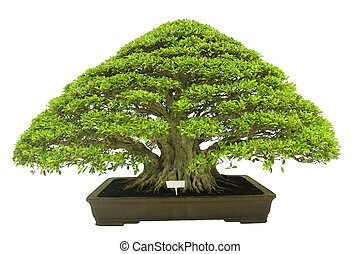 bonsai - Chinese green bonsai tree Isolated on white...
