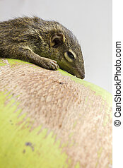 Tree Shrew - Common treeshrew or Southern treeshrew Tupaia...