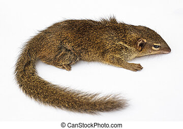 Tree Shrew - Common treeshrew or Southern treeshrew (Tupaia...