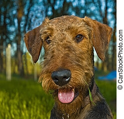 Airedale terrier dog with tongue hanging out of mouth