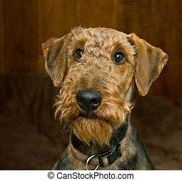 Guilty looking airedale terrier dog with a brown background