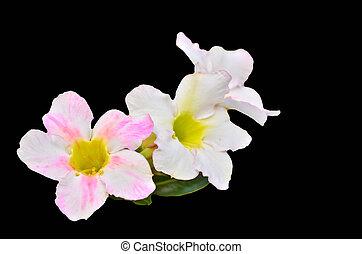 White Desert Flower on black background