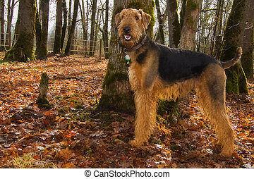 Airedale terrier dog in autum setting