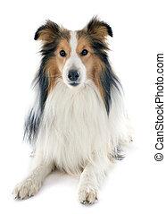 shetland dog - portrait of a purebred shetland dog in front...