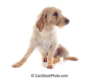 Fauve de Bretagne in front of white background