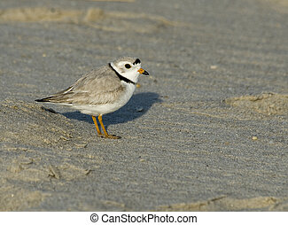 Piping Plover - New Jersey endangered Piping Plover at Cape...