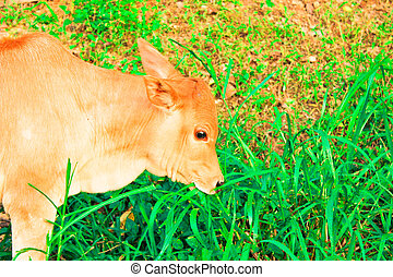young baby cow  eat fresh green grass on soil ground, culture thai agriculture vintage style