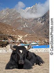 Yak, Himalaya, Nepal