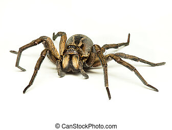 wolf spider - a wolf spider isolated on a white background