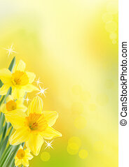 Daffodil Background - Yellow Daffodils as Spring and Easter...