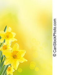 Background with Daffodils - Yellow Background with...