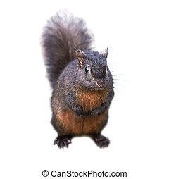 Black squirrel - Pretty black squirrel isolated on white...