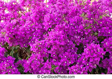 Bougainvillea flower background