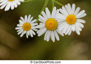 Marguerite - Beautiful close up photo of a marguerite