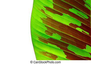 banana leaves - Banana leaves (Musa gracilis Horltt.)