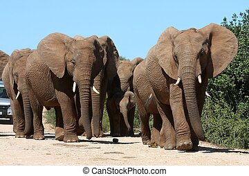 Elephant Herd - African elephants on the move in a South...