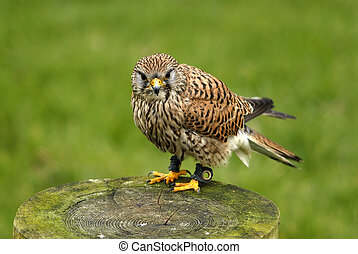 kestrel - Bird of Pray caged