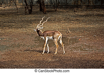 Black Buck Antilope cervicapra in New Delhi zoo