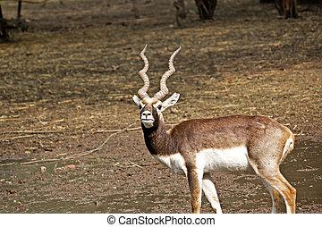 Black Buck (Antilope cervicapra) in New Delhi zoo