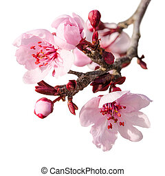 Branch of spring plum blossom with pink flowers and buds...