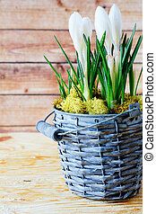 blooming crocus in a wicker bucket, flowers