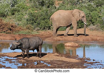 African Wild Life Scene - Elephant and Cape Buffalo at an...