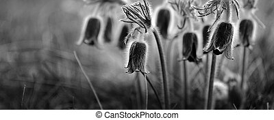 Pulsatilla flower background - Black and white photo with...