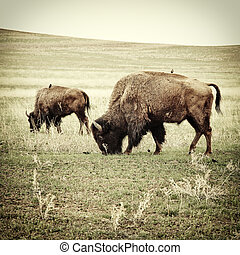Bison grazing old photo - Bison grazing. Processed to look...