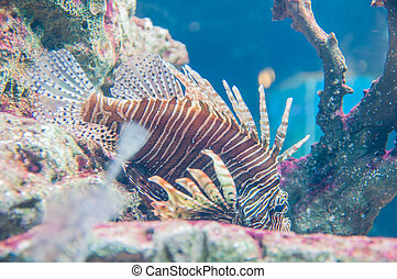 lion fish beautiful in aquarium and reef