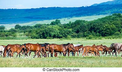 Herd of Arabian horses on the field returns home
