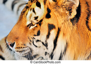 Tiger profile - Male Amur or Siberian tiger, Panthera tigris...
