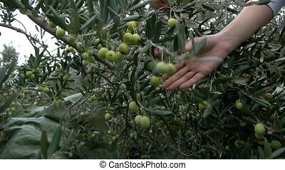 Picking olives from tree - Picking ripe green olives from...