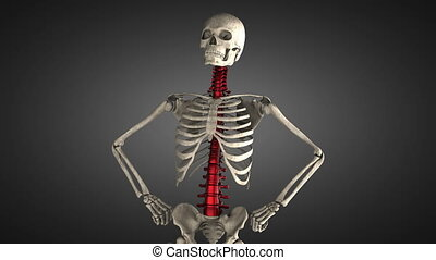 human skeleton model rotate