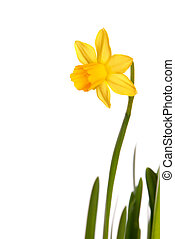 Yellow Narcisse - Yellow Daffofil or Narcisse as Easter or...