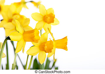Yellow Daffodils - Yellow daffodils, Background with many...