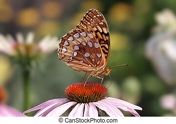 Great Spangled Fritillary Butterfly Speyeria cybele on Cone...