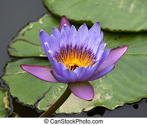 Blue Yellow Water Lily and Pads - Blue Yellow Water Lily...