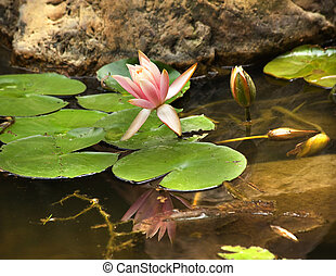 Pink Water Lily with Reflection