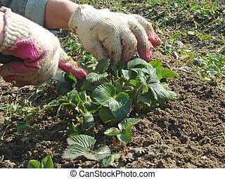 gardening - woman hands caring the strawberry plants at the...
