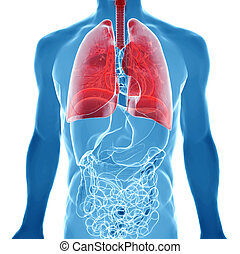 anatomy of human lungs in x-ray view - human body under...